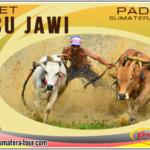 Paket Tour Pacu Jawi Tanah Datar Sumbar - Travel Wisata Padang Bukittinggi - Sumatera Barat